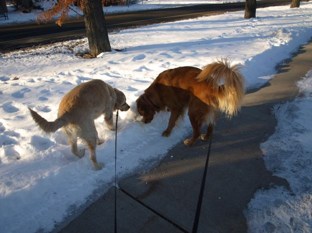 Two dogs sniffing (yellow) snow