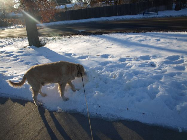 Second dog sniffing (yellow) snow