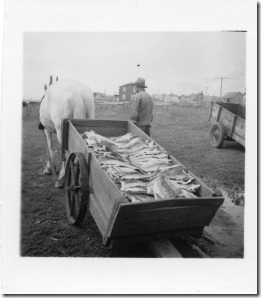 PCR-220 cartful of dried cod outside Perce