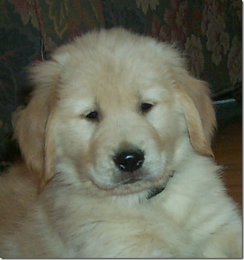 Image: close up of fluffy golden retriever puppy looking into the camera.