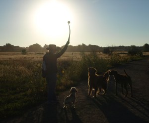 Woman and three dogs in the middle of a grassy area silhouetted against the sun.  The woman has a long plastic throwing device raised in her right hand with a tennis ball at the end.  All three dogs are looking up with rapt attention at the tennis ball.