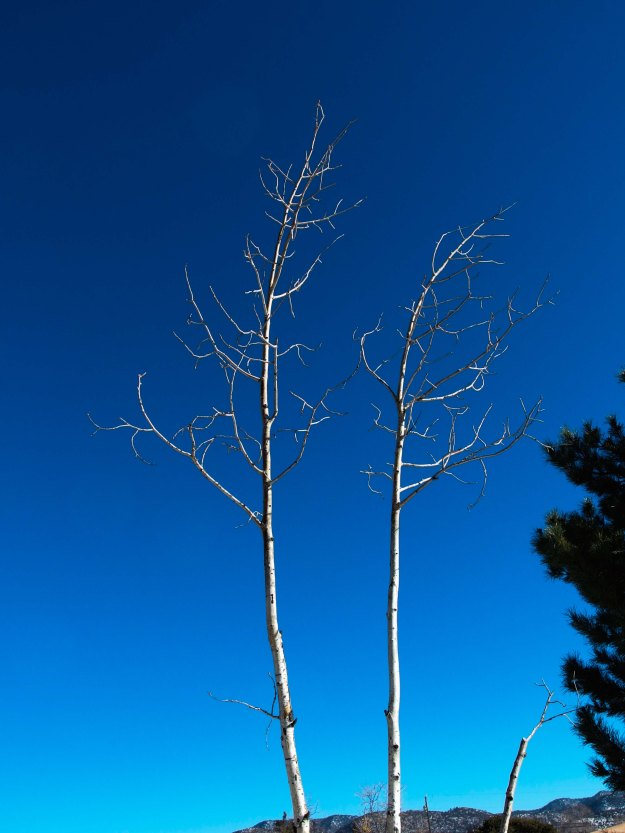 {Image: two bare trees, very slender with white bark against a very deep blue sky.}