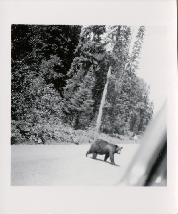 {Image: black & white photo of a large bear crossing a road.}