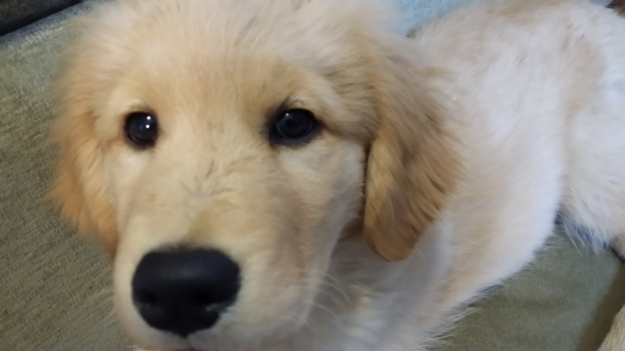 {Image:  close up photo of the face of a golden retriever puppy.}