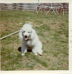 {Image:  small white poodle sitting in the middle of a grassy yard, panting.}