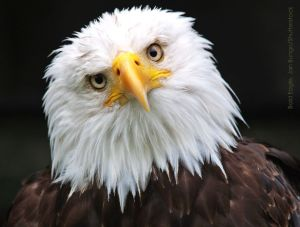 Image: head and shoulders of Bald Eagle with head cocked to the left staring into the camera.