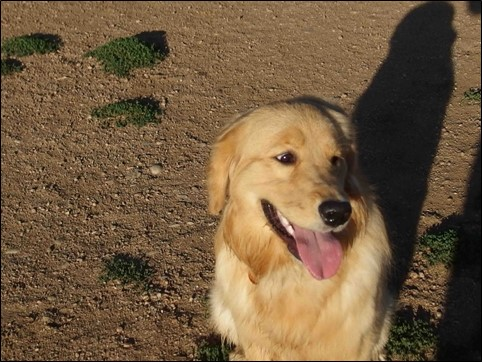 Image:  photo of golden retriever sitting in the sun panting.