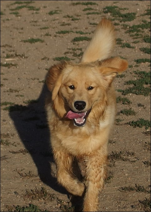 Image: photo of golden retriever running toward the camera with her tongue out.