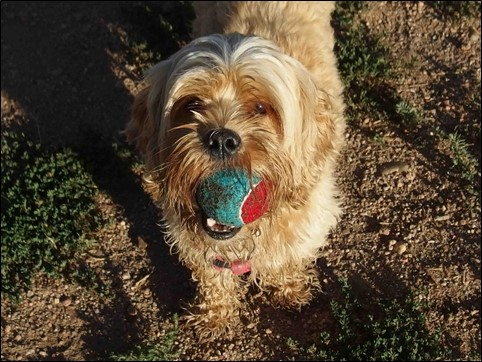 Image:  photo of muddy havanese dog with tennis ball in his mouth.