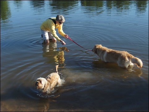 Image:  photo of woman in yellow fleece and khaki shorts standing in water now up to her knees, coaxing the golden retriever to come in up to her haunches.  The havanese happily swims in the lower part of the photo.
