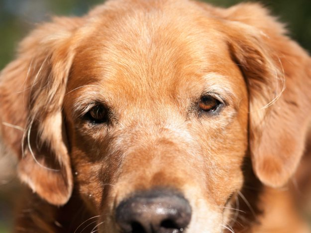 Image:  the face of a dark-gold golden retriever.