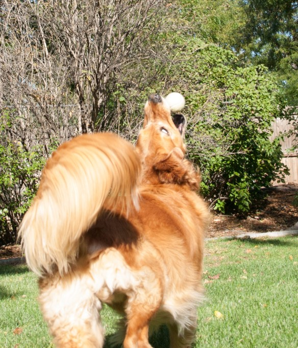 Image:  a dark-gold golden retriever reaches up for a tennis ball.