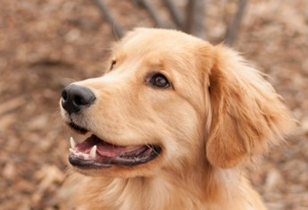 Image: Photo of golden retriever.