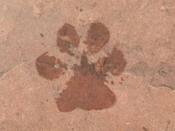 Image:  wet dog footprint on slate flagstone.