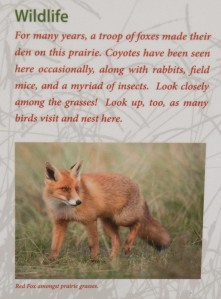 "Image: Sign showing photo of red fox with this text: ""Wildlife: For many years, a troop of foxes made their den on this prairie. Coyotes have been seen here occasionally, along with rabbits, field mice, and a myriad of insects. Look closely among the grasses! Look up, too, as many birds visit and nest here."""