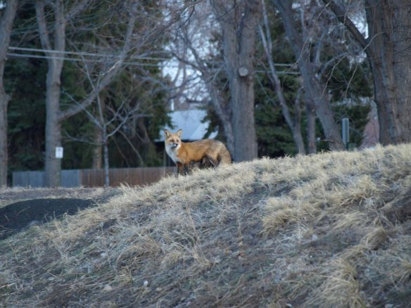 Image: red fox standing on a small rise, wooden fence in the background.