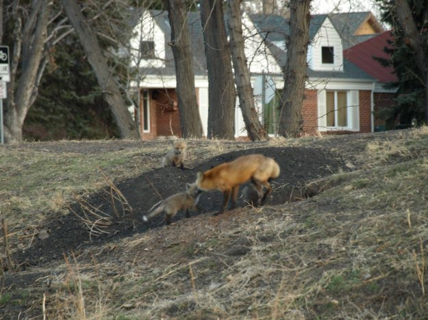 Image: mother fox and kit playing on the grass with a house in the background.