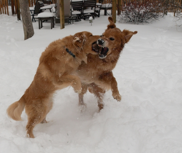 Image: two golden retrievers wrestling in the snow.