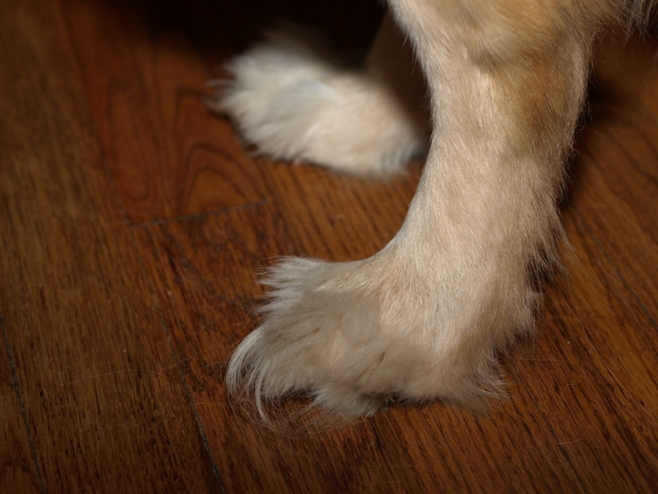 Image: golden retreiver dog's paw with much long hair sprouting through her toes.