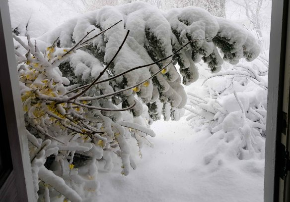 Image: Framed in an open front door, the branch of a tall shrub is bending under heavy snow. In the foreground, a smaller branch with small yellow flowers.