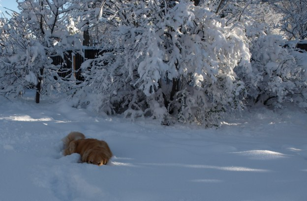 Image: Golden retriever dog standing in the snow up to her sides and chin.
