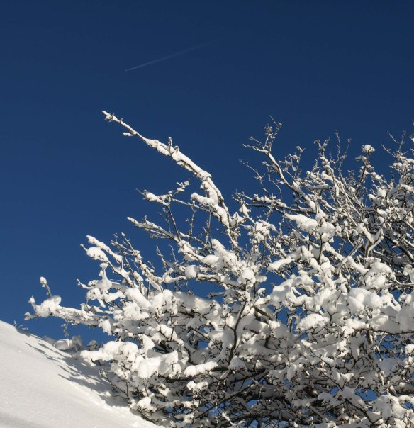 Image: snow covered branches against a bright blue sky.