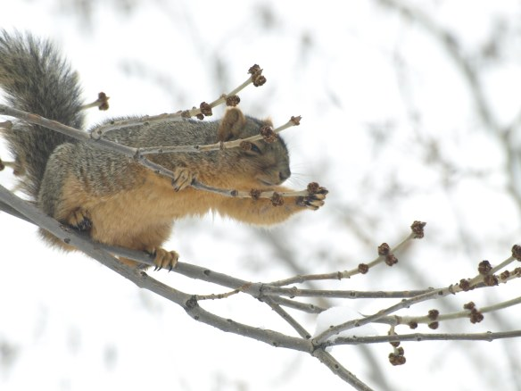 Image: squirrel on tree branch reaching for a berry to eat.