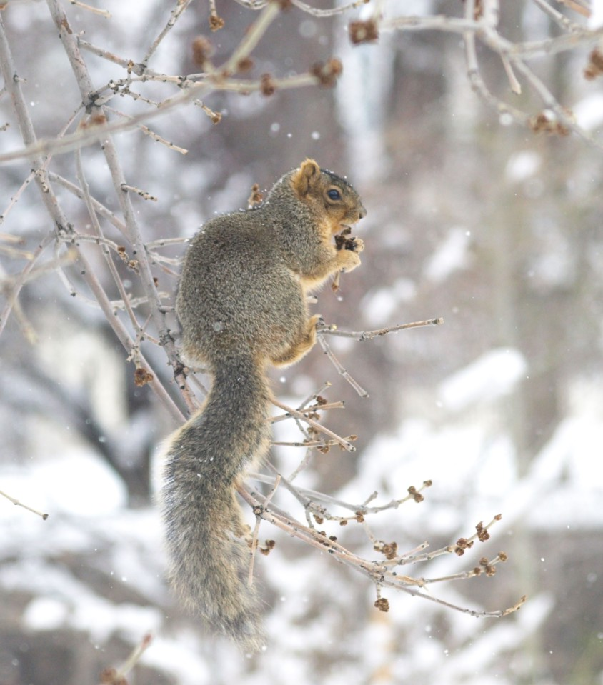 Image: squirrel on tree branch eating a berry.