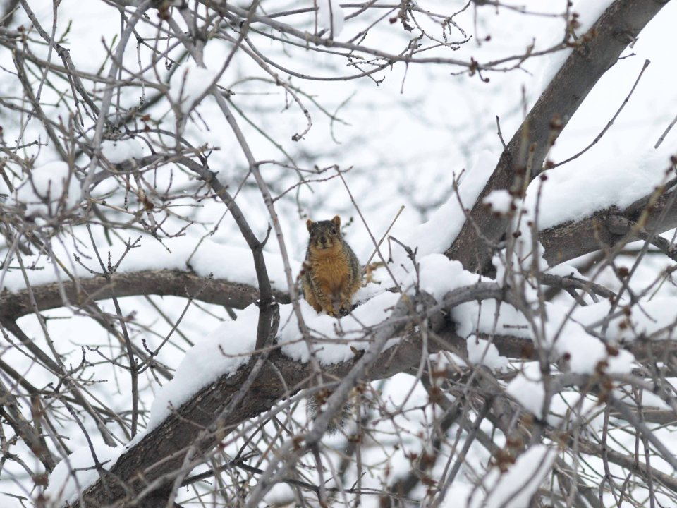 Image: squirrel in pile of snow in a tree staring at the camera.