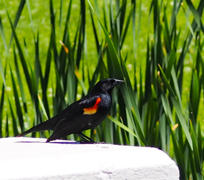 Image: red-winged blackbird perched on a white column.