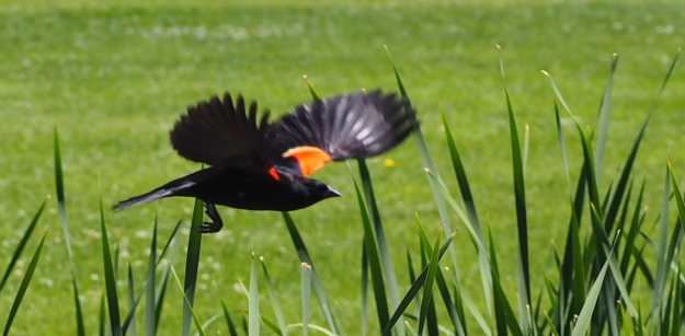 Image: red-winged blackbird in flight.