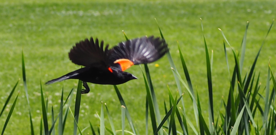 Image: red-winged blackbird in flight.