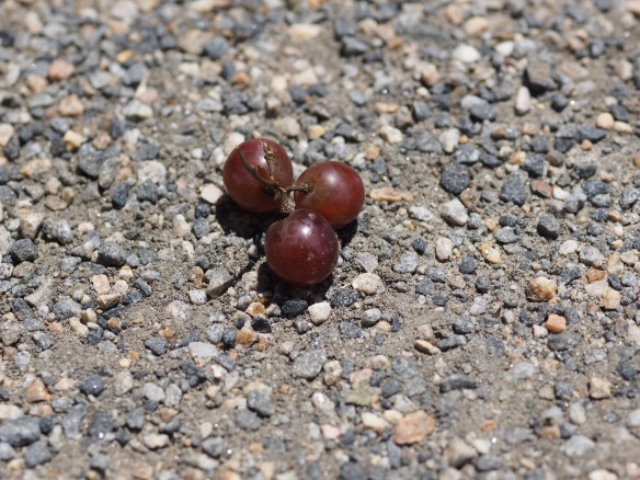 Image: a cluster of 3 grapes in the middle of gravel.