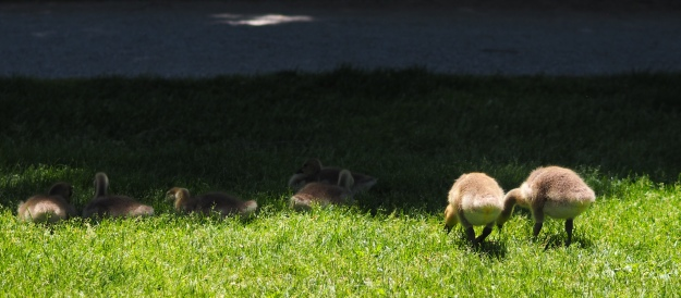 Image: a group of goslings sit and stand in the grass, eating. Two have their very fuzzy behinds to the camera.