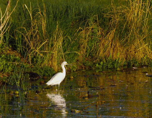 Image: Heron standing close to reeds on shore, surrounded by logs and other debris.