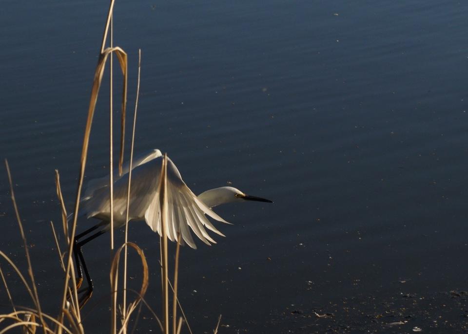 Image: heron starting to take off.