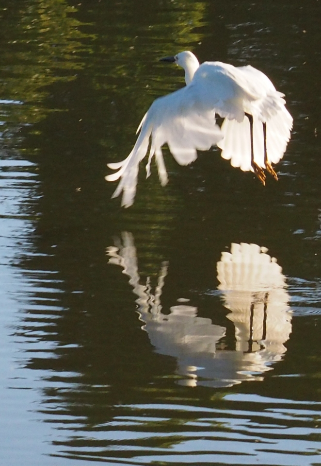 Image: Heron starting to take off, reflected in the water below.