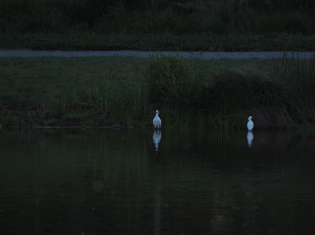 Image: two white herons standing against a dark background of lake and shore.