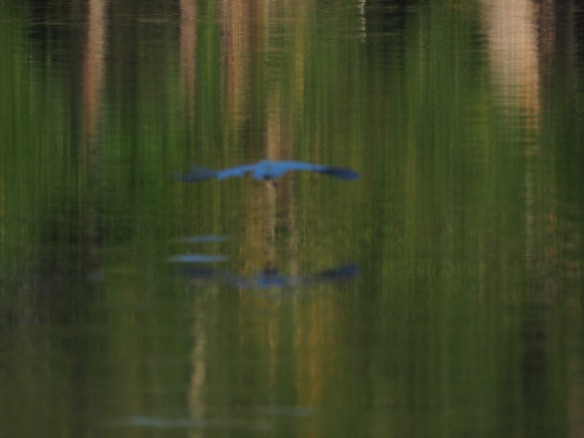 Image: blue black bird flying just above the water, all mildly out of focus.