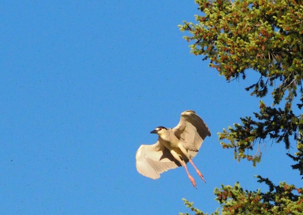 Image: light brown bird in flight, seen from the underside.