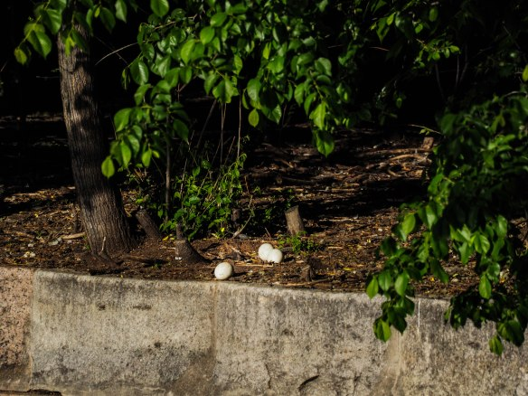 Image: low concrete wall bordering a dirt area, with 3 large eggs near the concrete edge.