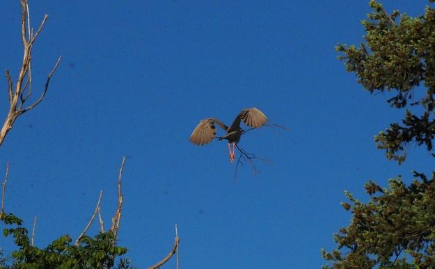 Image: Gray-brown bird in flight with twigs in its beak.