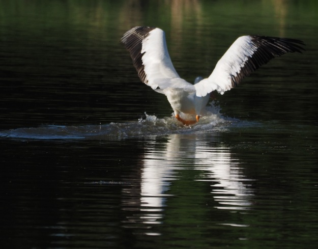 Image: pelican landing on water with wings spread wide.
