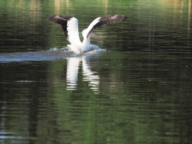Image: pelican landing on water with wings starting to furl.