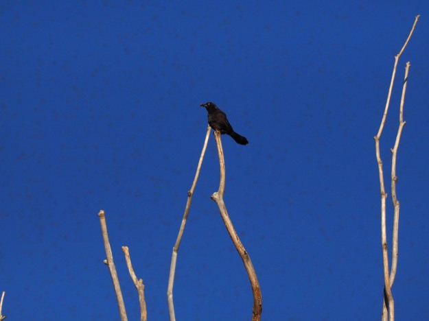Image: small black bird perched on a bare branch against the blue sky.