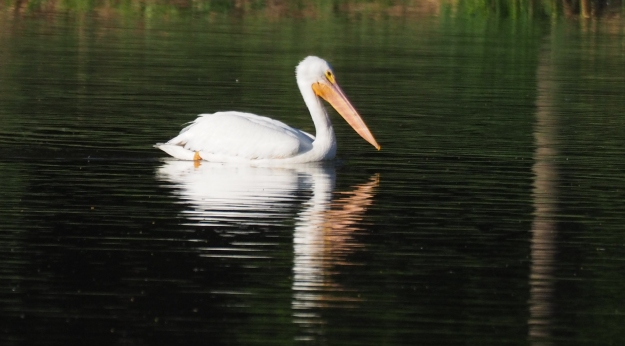 Image: pelican floating on water.