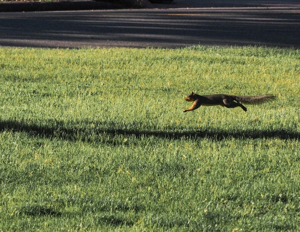 Image: running squirrel that has been caught completely airborne in a leap with its legs extended forward and back.