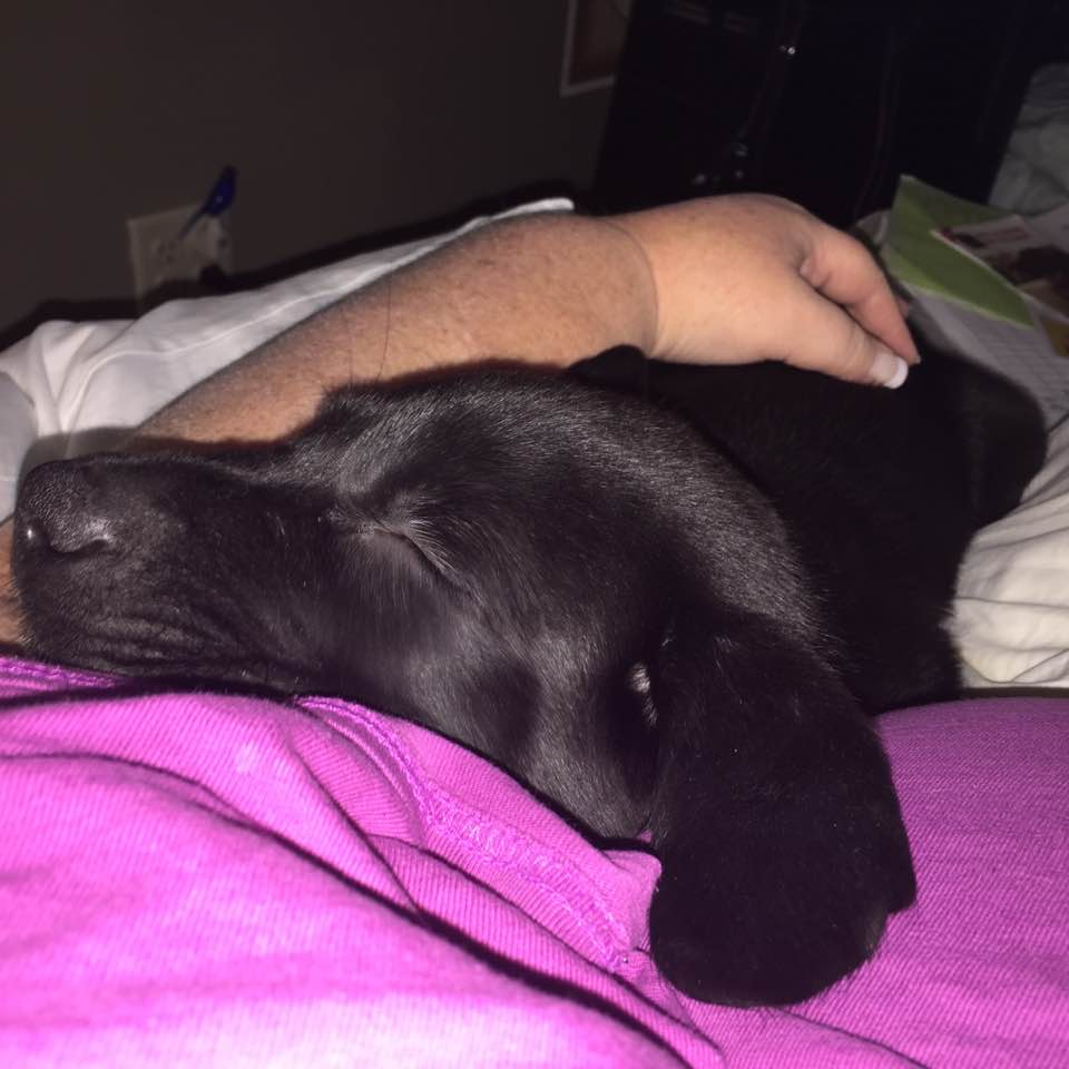 Image: 9 week old black lab puppy laying on his human, sleeping with ears flopped out.