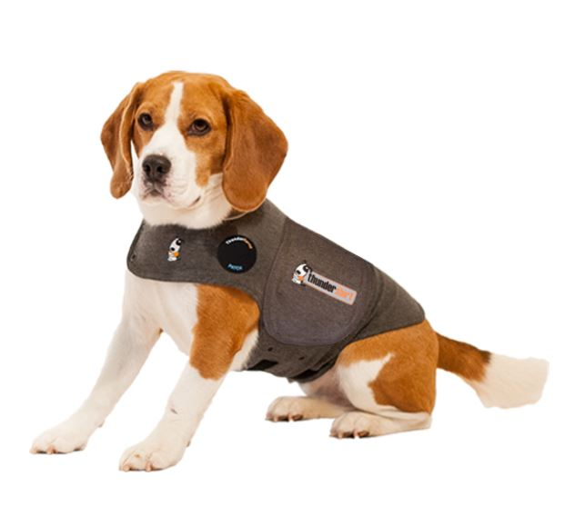 (Image: brown and white beagle wearing a tight grey vest around its torso.)